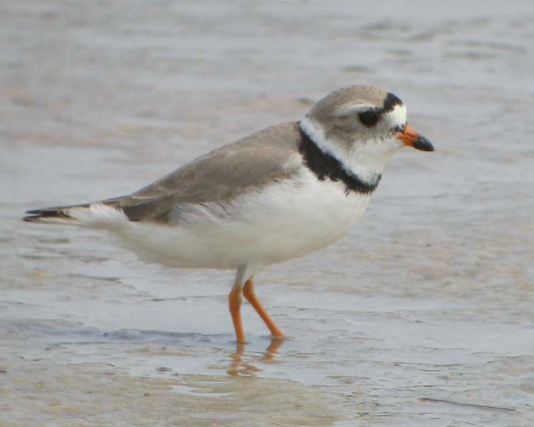 Piping-Plover_8271-cr